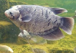 Klasifikasi Morfologi Dan Anatomi Ikan Gurame Ikan Dan Laut