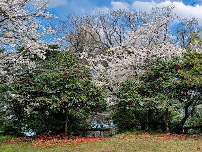 Yama-zakura (Cerasus jamasakura): Genjiyama (Kamakura)
