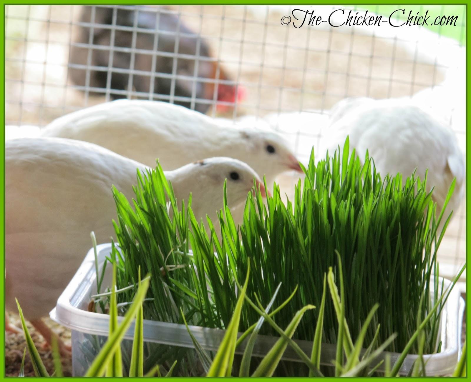 Quail like fodder too!