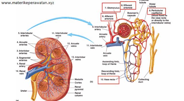 Catatan Perawat: Anatomi dan Fisiologi Ginjal lengkap dan Singkat