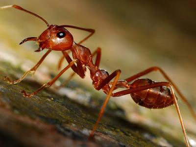 hormiga colorada
