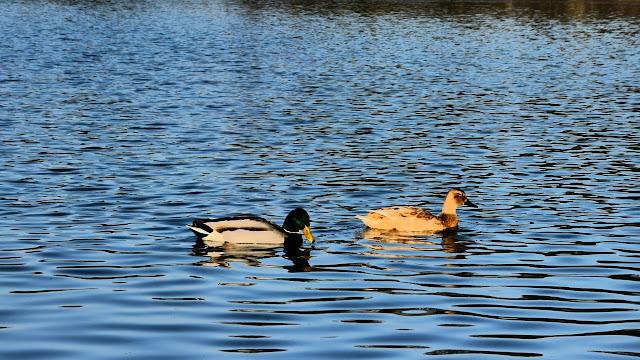 Ducks in the Englischer Garten München
