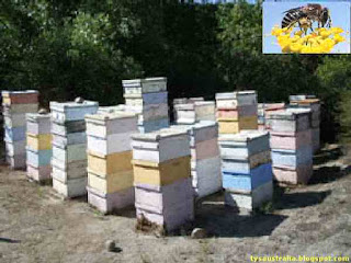Genetic improvement to honey bee output by selection of only the best queen bees