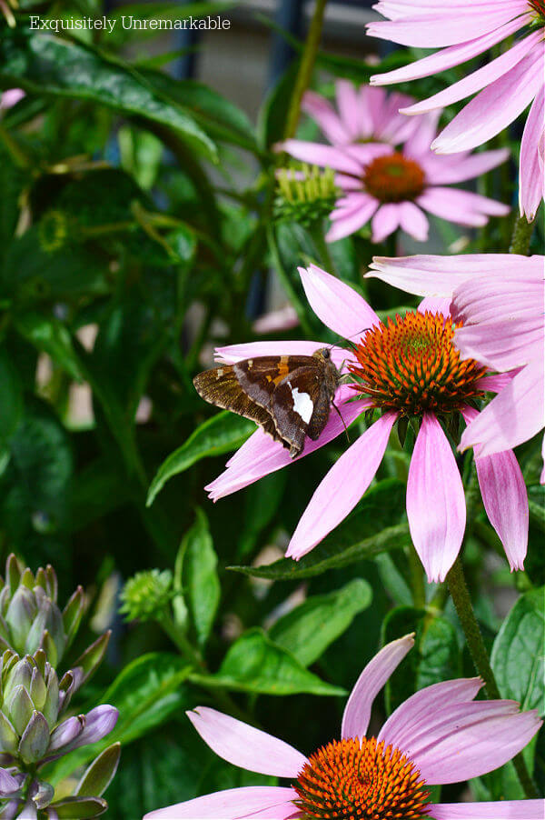 Butterfly On Pink Coneflower