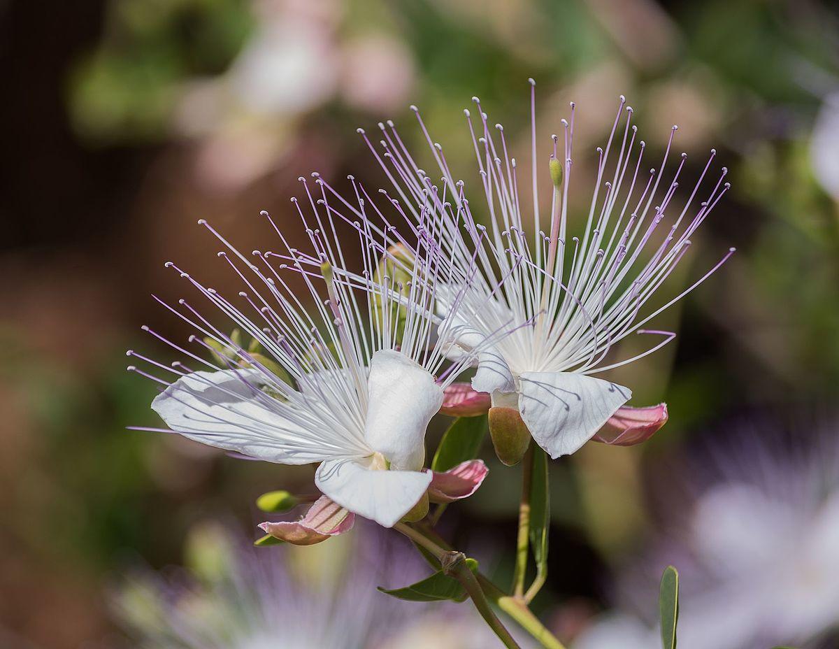 ماهي نبتة القبار ومافوائدها وكيفية إستخدامها