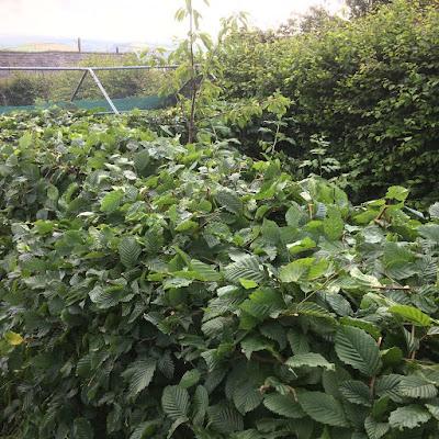 Hornbeam hedge in image