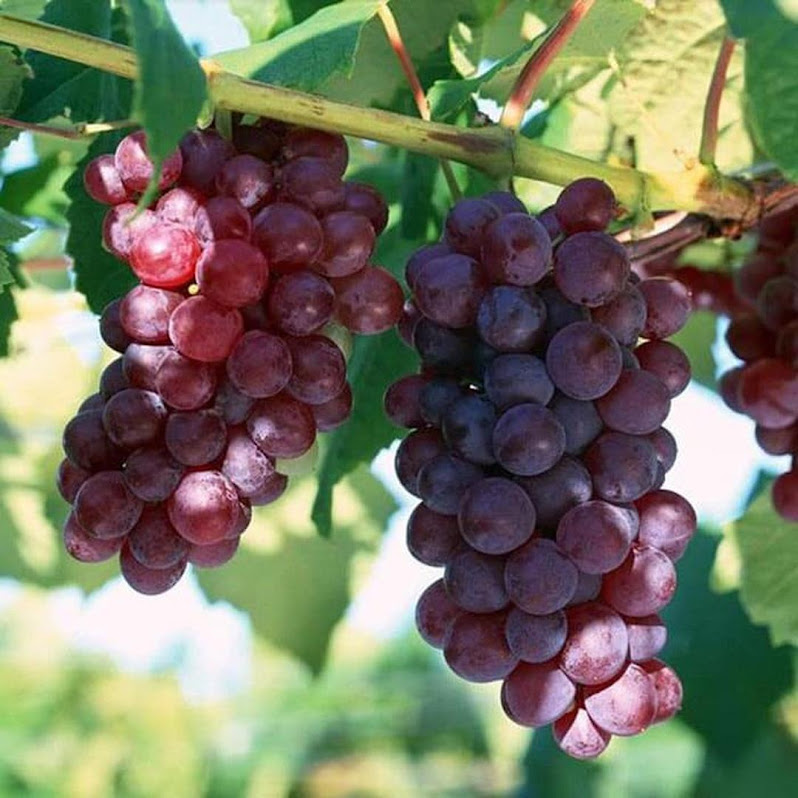 Bibit Buah Anggur Merah Sumatra Utara