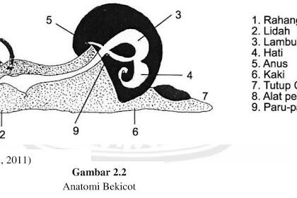 Klasifikasi Dan Morfologi Bekicot
