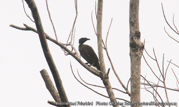 Helmetted Friarbird (Philemon buceroides)