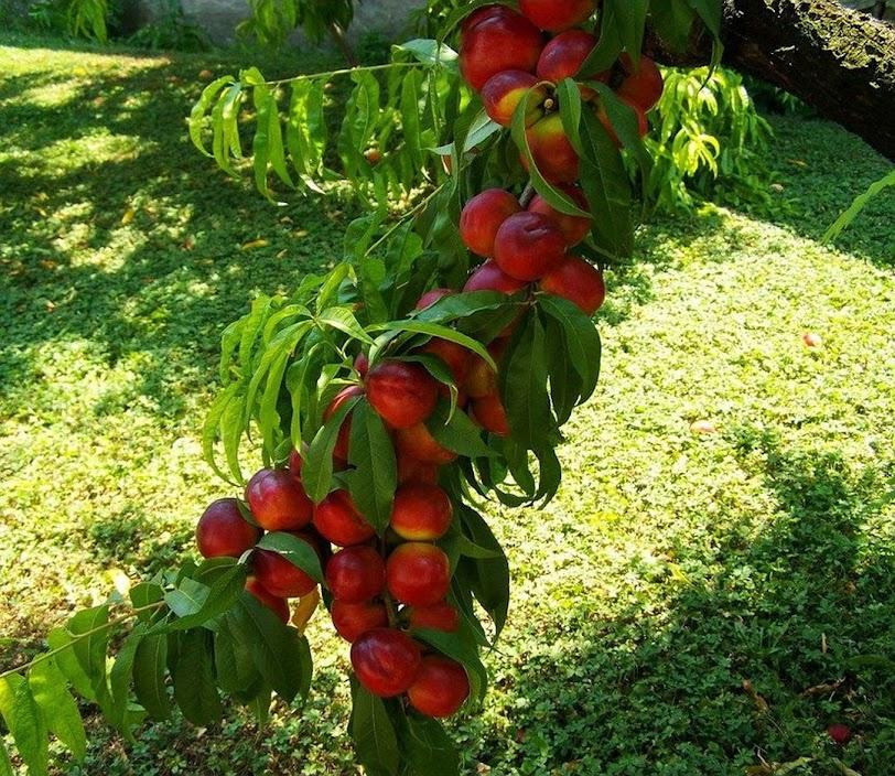 Promo Bibit buah persik bibit tanaman buah persik DELIFMART Sumatra Utara