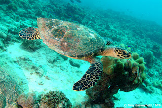 Hawkbill Turtle Seychelles island