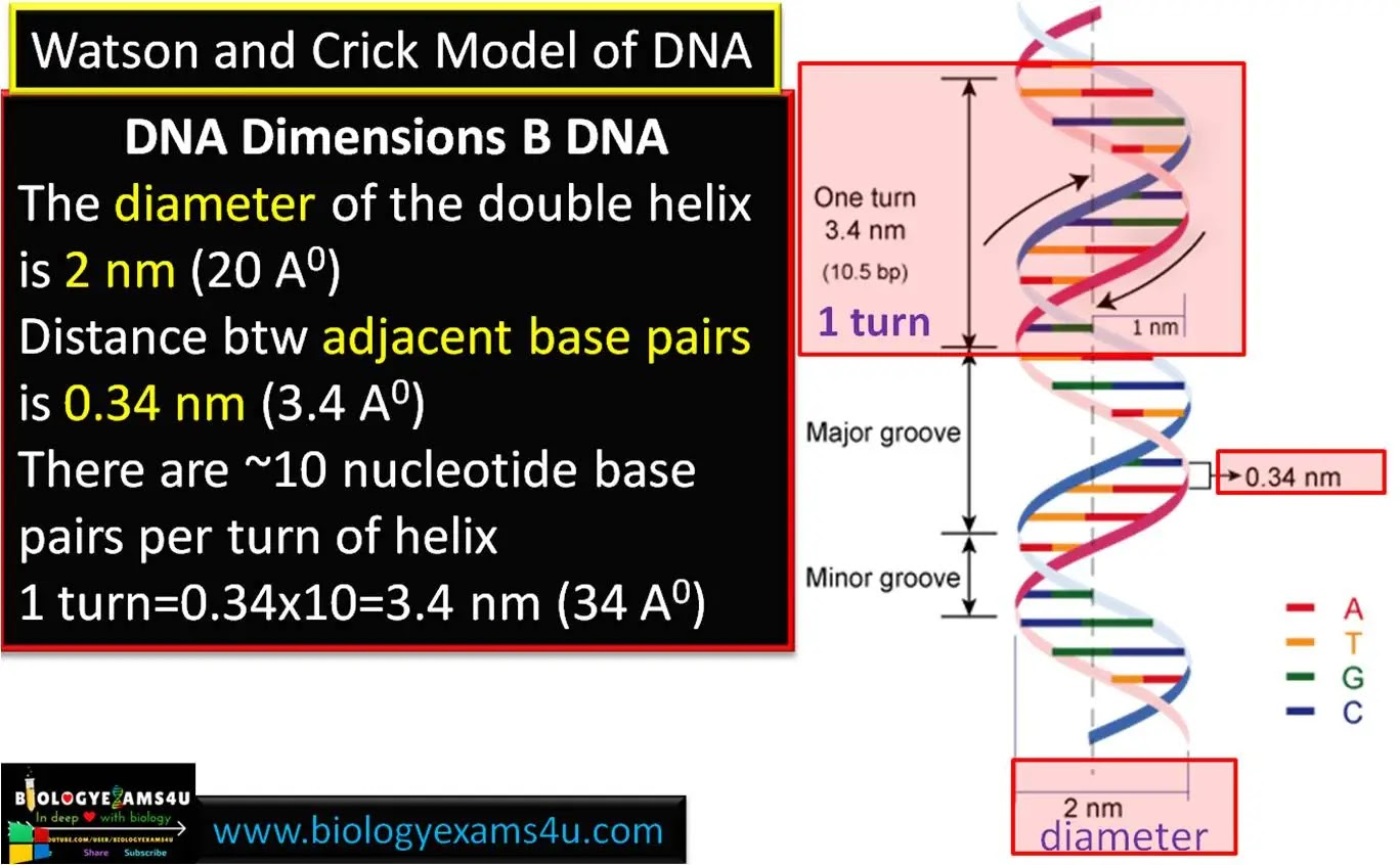 DNA Dimensions B DNA Watson and Crick model