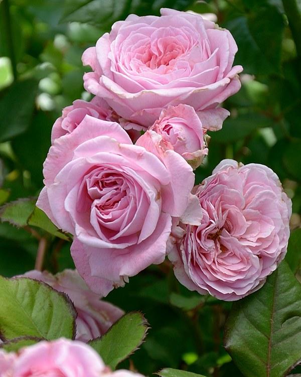 Rosengrafin Marie Henriette сорт розы фото