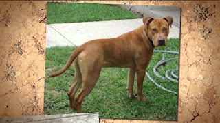 Rhodesian Ridgeback Boxer Mix Temperament, Size, Lifespan, Adoption, Price