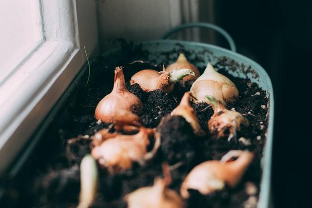 Cara Menanam Bawang Merah dalam Pot