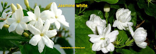 Beauty use jasmine