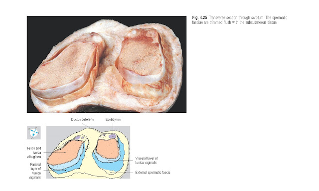 Transverse section through scrotum. The spermatic fasciae are trimmed flush with the subcutaneous tissue.