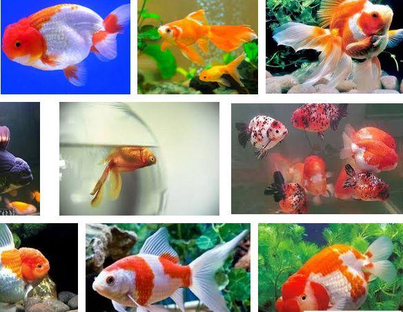 Kenapa Ikan Mas Koki Mudah Mati Ini Jawabannya