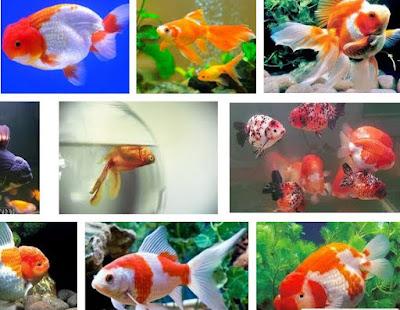 Ikan Mas Koki Mudah Mati