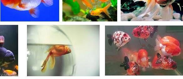 Kenapa Ikan Mas Koki Mudah Mati? Ini Jawabannya