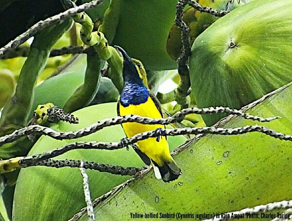 Olive-backed Sunbird (Cynniris jugularis)
