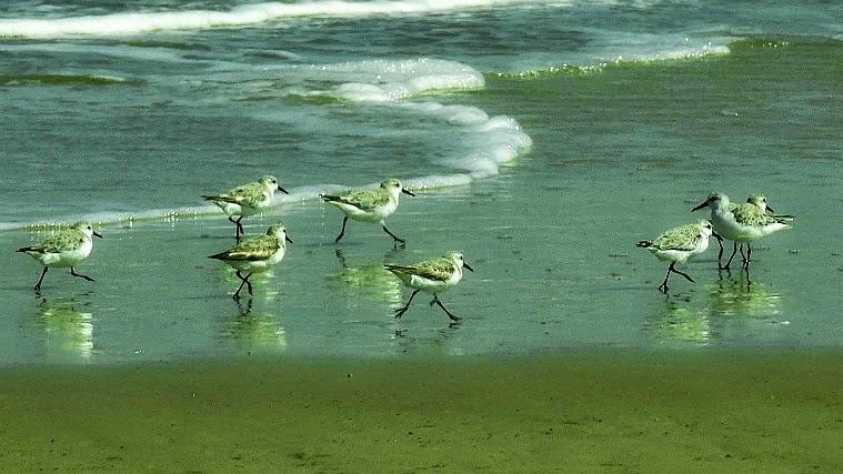 Os maçaricos brancos junto ao mar, no Parque da Lagoa do Peixe, em Tavares
