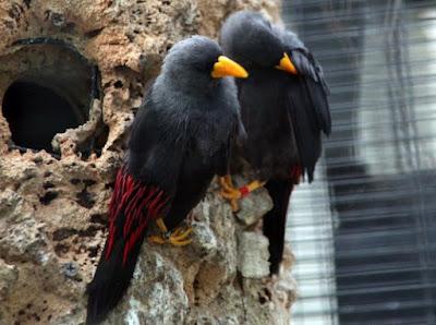 Proses Perawatan Burung Jalak Rio Setiap Hari Paling Akurat Agar Cepat Gacor