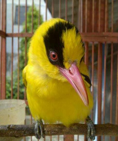 Mengenal Burung Kepodang Klasifikasi Habitat Dan Ciri Cirinya Hobinatang