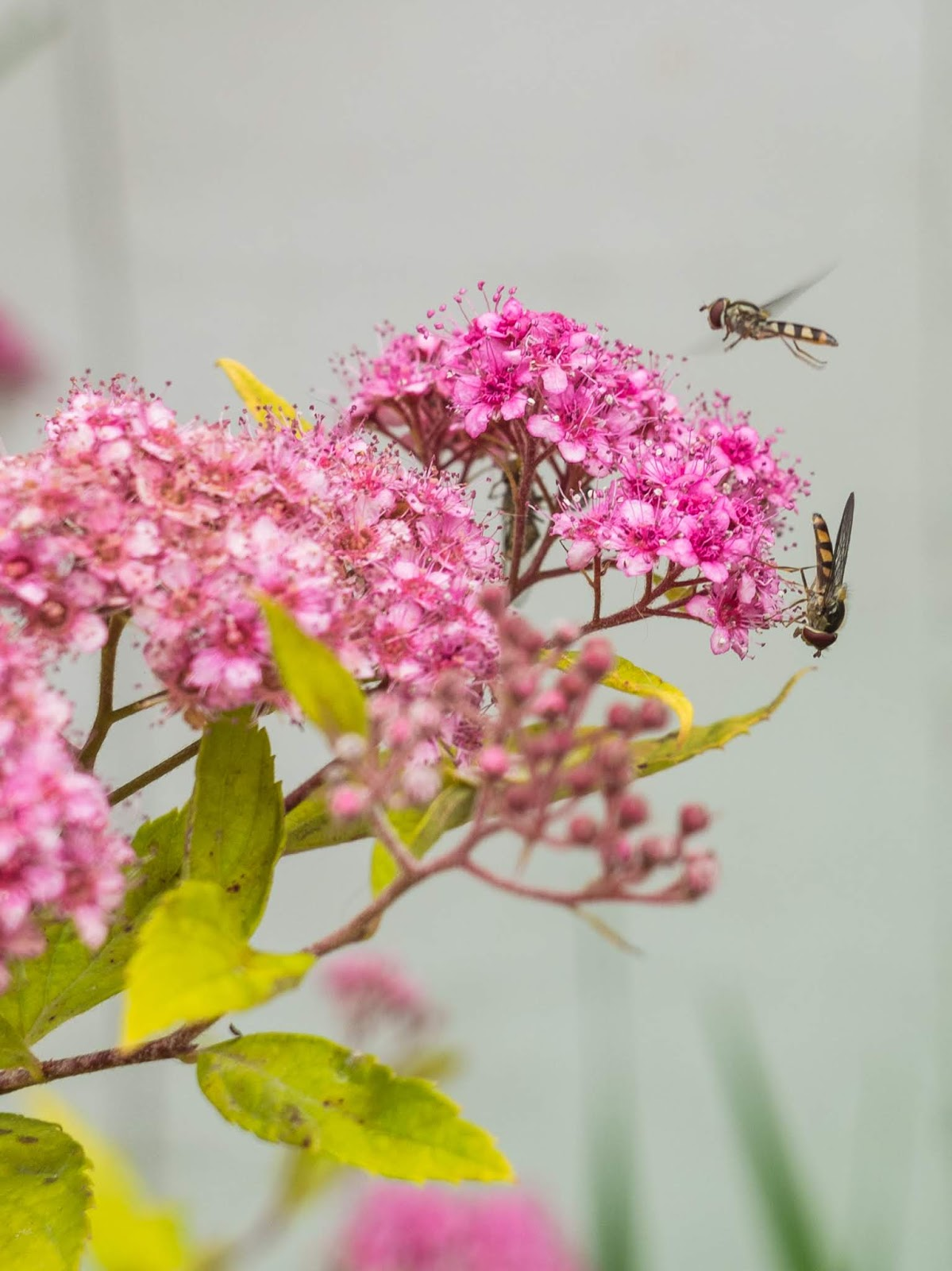 A close up of two Hover Flies on and around pink Spirea flowers.