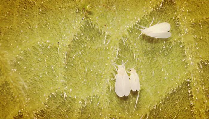 Mosca de cactus