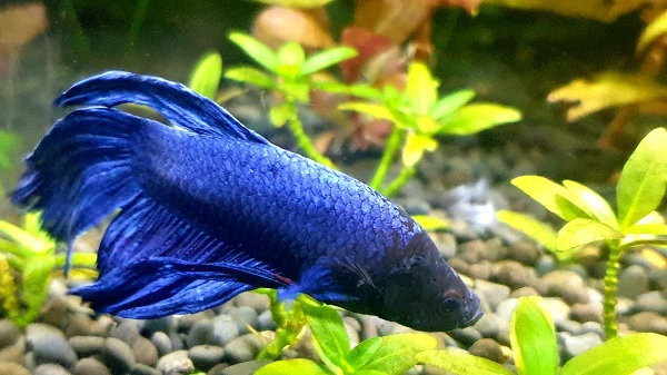 How to Setup Breeding Aquarium for Betta Fish