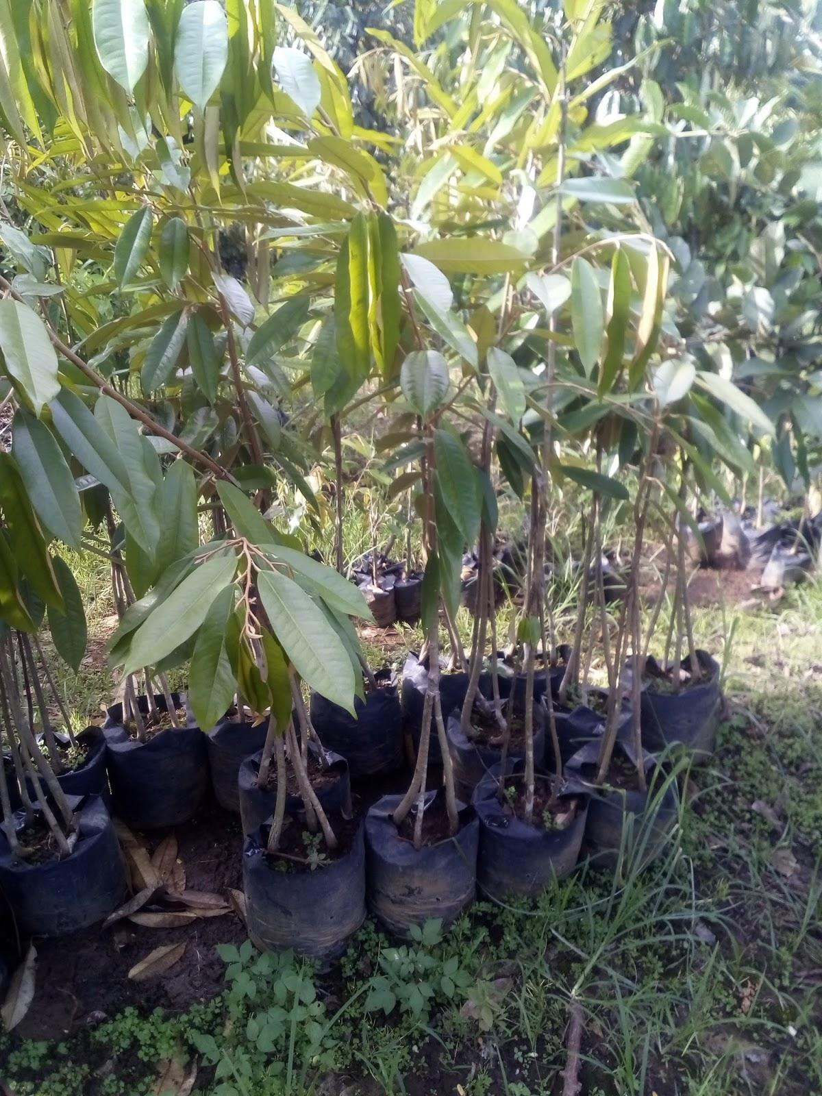 Jual Bibit Durian Montong Bibit Durian Bawor Durian