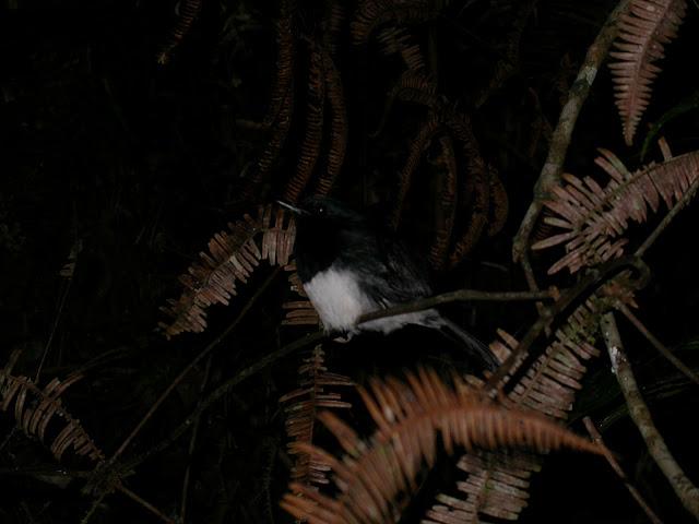 Copsychus albospecularis - Dyal malgache - Madagascar