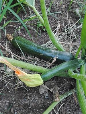 Cosa seminare a maggio: le zucchine.