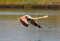 Greater flamingo - Birds In Flight Photography Cape Town with Canon EOS 7D Mark II  Copyright Vernon Chalmers