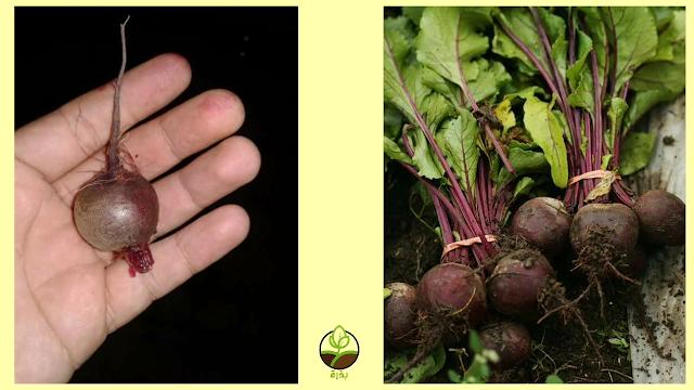 زراعة الشمندر أو الشوندر أو البنجر أو الباربة Beta vulgarus