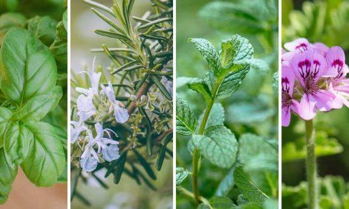 Το Εργαστήριο Οικολογίας του Τμήματος ΒΕΤ οργανώνει ανοιχτή διαδικτυακή συζήτηση με τίτλο: Τα Αρωματικά και Φαρμακευτικά Φυτά μετά τον COVID: τί να περιμένουμε;