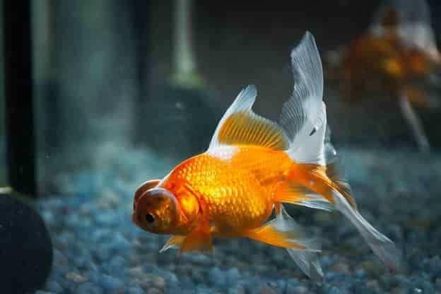 Diseases of goldfish