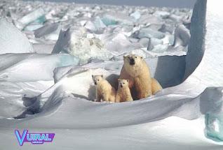 Contoh Hewan Mamalia Beruang Kutub