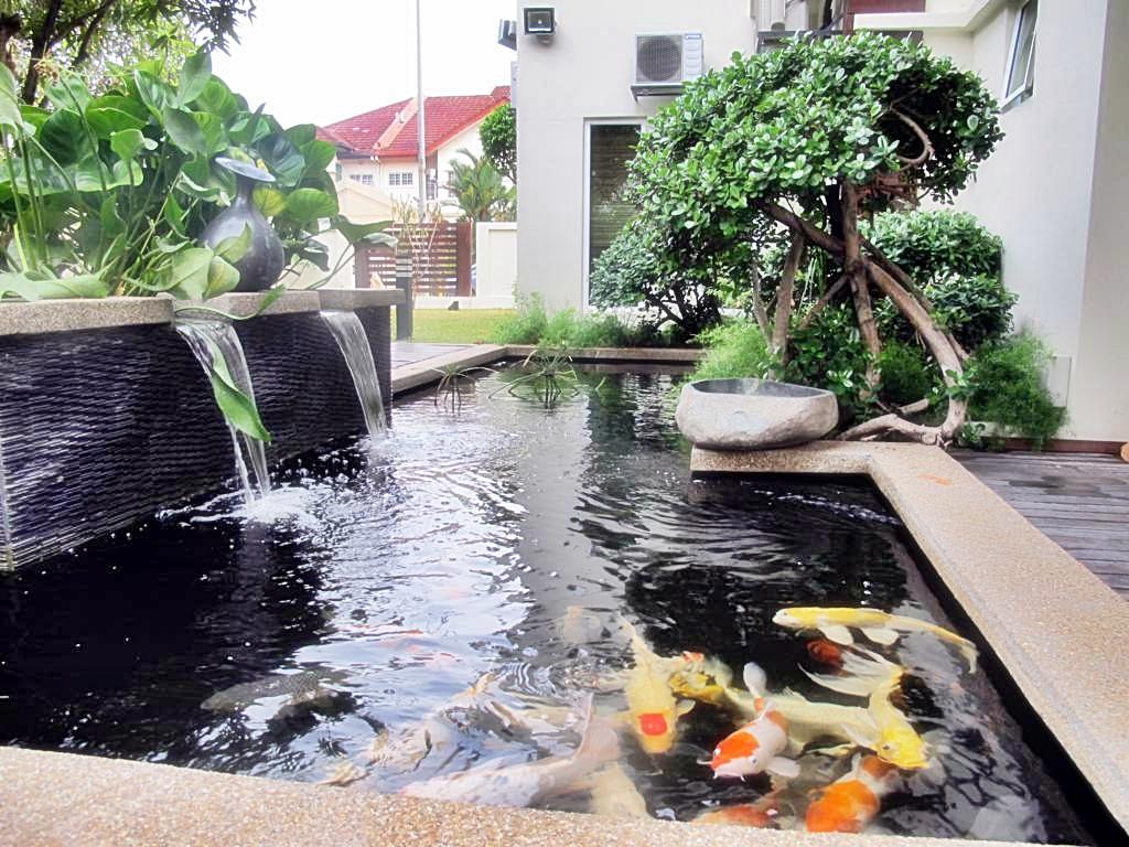 Mengatasi Air Kolam Koi Berwarna Hijau Akuarium Ikan Hias