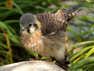 American Kestrel Female