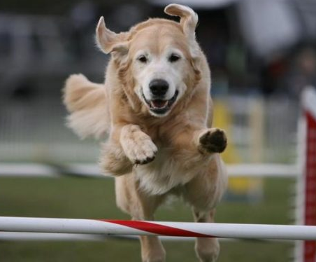 4 to 8 Dog Agility Jumps Makes Ideal Training