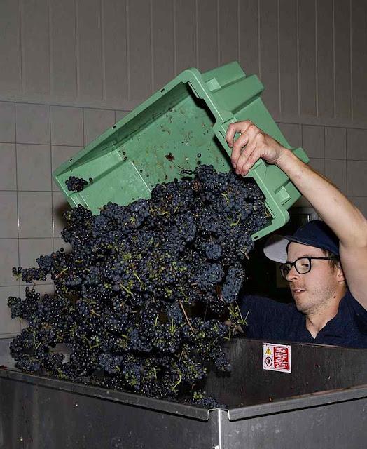 Adaptação bem sucedida promete mais quantidade, variedade e qualidade de novos vinhos