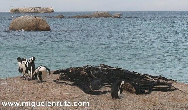 Colonia-pingüinos-Seaforth-Beach
