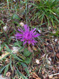 [Asteraceae] Centaurea nigrescens – Tyrol knapwee, Tyrol Thistle (Fiordaliso nerasto)
