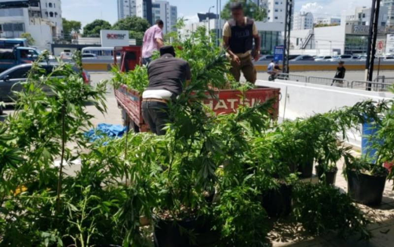 DNCD desmantela invernadero con 286 plantas de marihuana en Veron-Punta Cana