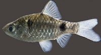 Puntius phutunio, indian barb, indian aquatic fauna, indian biodiveristy