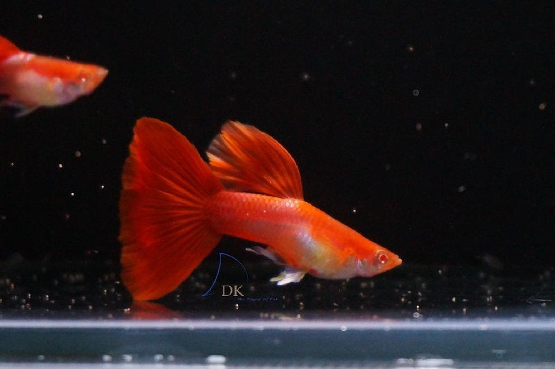 Gambar Jenis Ikan Guppy Import - Ikan Guppy Import HB Red / HBR