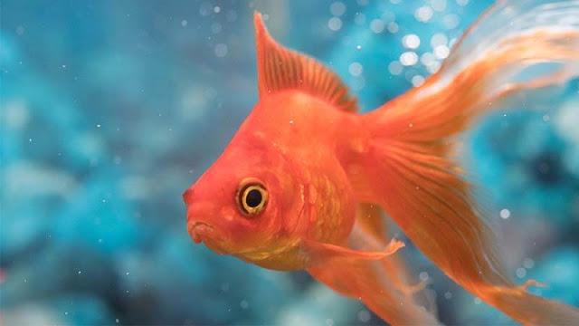 Supplier Jual Ikan Mas Hias & Bibit Mataram, Nusa Tenggara Barat Terdepan