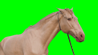 A free video of head and shoulders shot of a white horse on a rope lead set against a green screen background.